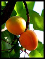 Apricot by uk-antalya