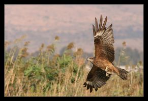 Black kite by invisiblewl