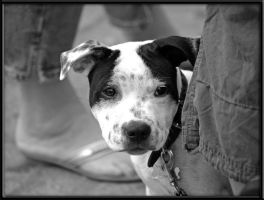 Dalmatian Puppy by noremac-dust