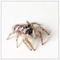Jumping spider on white by EdwinBont