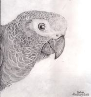 African Grey by supercrazzy