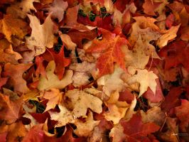 Bunch of Maple Leaves by thenonhacker