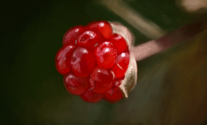 Red Berry drawing by Grimstitch