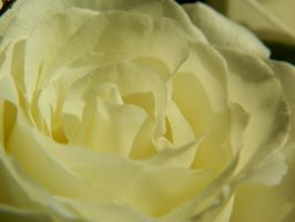 White Rose by LexyLou16