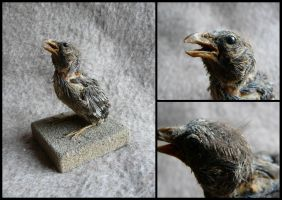 Juvenile Red Crossbill Mount by CabinetCuriosities