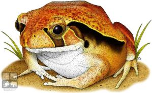 Tomato Frog by rogerdhall