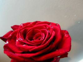 Red Rose with Droplets III by Sakura-Koi