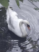 le cygne 2 by Flore-stock