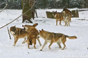 Fight In Wolf Pack by amrodel