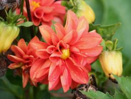 red dahlias and buds by ingeline-art