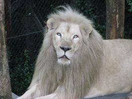 White Lion by AnimalsRForever