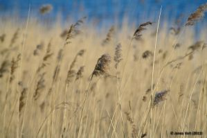 Reed bed II by friedapi