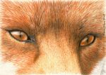 Red Fox Eyes ACEO by sidneyeileen