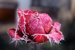 Rose In ice by Nta16