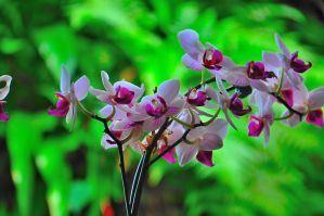 Singaporean Orchid by JuBe96