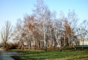 Birch grove by saltov-man