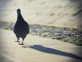 Mr. Pigeon by Anlin