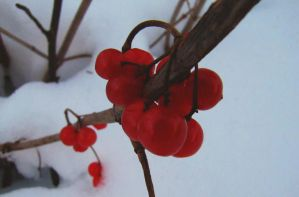 Red Berries by Reilune