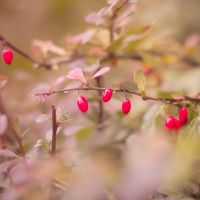 Autumn Berries by Pamba