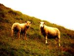 Sheep. by KodakMoments493