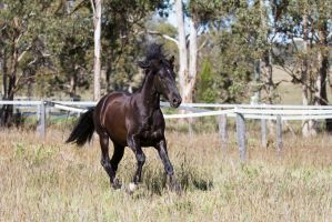 HH Black Andalusian canter by Chunga-Stock