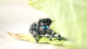 Daring Jumping Spider by sankyaku