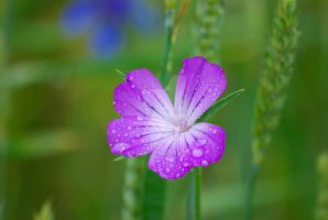 Droppy violet flower... by gaidele