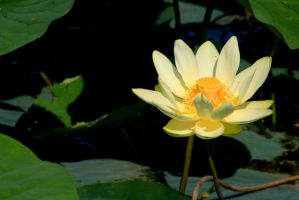 Water Lotus 003 by olearysfunphotos