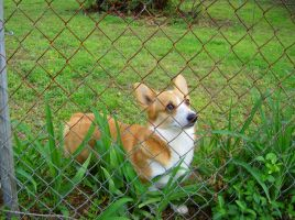 Katie the Pembroke Welsh Corgi by lizzixoxo
