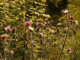 Thistle by maadobs-garden