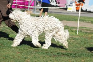Komondor 2 by xxtgxxstock