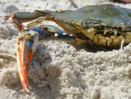 Blue Crab II by BloodyMinded6