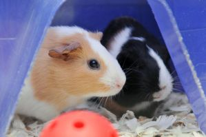 CPR Guinea Pigs VI by LDFranklin