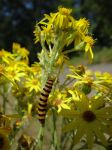 Tansy Worm by Whimseystock