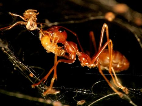 Ant In Food Web by mutmut