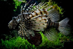Lion Fish by TeKNoMaNiaCH