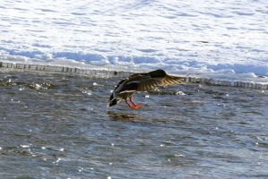 Mallard Duck touch down by sgt-slaughter