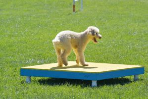 2014 Dog Festival, Agility Contest 16 by Miss-Tbones