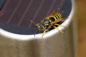 wasp 2 by Hyperborean1987