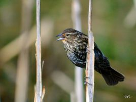 Female Red-winged Blackbird by Momenti-Photo