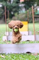 Flyball 02 by PoodleSchmoodle