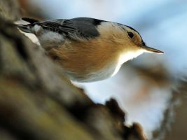 Nuthatch by masscreation