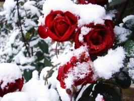 rose in snow2 by myblue-eyes