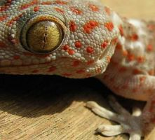 Lizard _ gecko by erbo