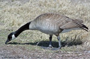 Foraging Goose I by hunter1828