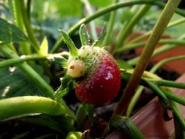 Strawberry by AlfiBOh