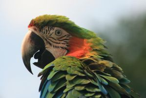 Macaw by klmurphy