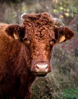 Laye's Cow by Malcolm21
