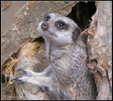 Cute Meerkat by Vitaloverdose