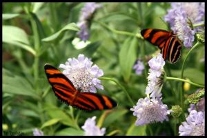 Tiger Striped Butterflies by shutterbugmom